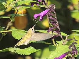 black gold discover the best garden flowers for hummingbirds
