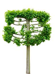 espaliered tilia linden tree stock photo image 71825573