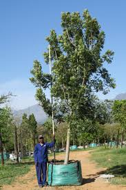 1000l harpephyllum caffrum or plum tree a large evergreen