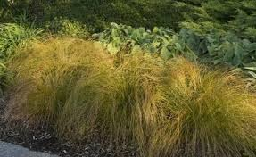 plant of the month carex sublime garden design landscape