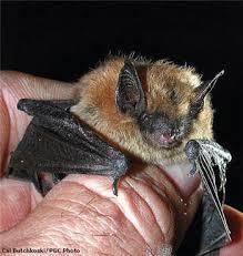 small bat eastern small footed bat