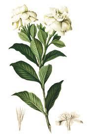 Gardenia Flower Rosal Gardenia Jasminoides Gardenia Philippine Medicinal