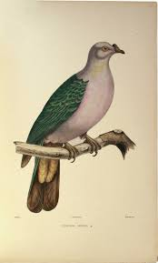 bonaparte charles lucie iconographie des pigeons non figurés