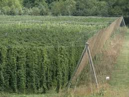 project aims to increase hops production in nebraska nebraska