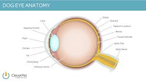 Picture Of Eye Anatomy Taking Care Of Your Dog U0027s Eyes Cleverpet
