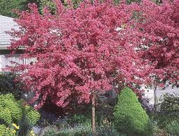 chicago illinois landscaping buy prairifire pink flowering