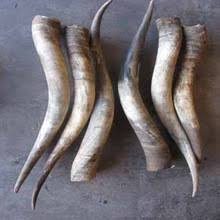 horns for sale cow horn cow horn suppliers and manufacturers at alibaba