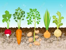 Green Root Vegetables - garden with root vegetables vector illustration royalty free