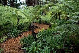 native plants nz bark path through the native tree ferns and kauri at omaio garden