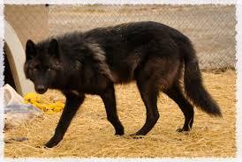 belgian shepherd timberwolf wild spirit wolf sanctuary animals jaeger