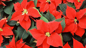 how to keep your poinsettia plant thriving year round