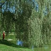 buy weeping willow trees at best price plants