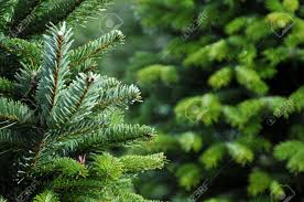 close up of a christmas tree farm in oregon stock photo picture