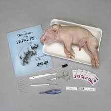 pig anatomy kit with dissecting set carolina com