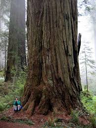 tallest tree in the world coast redwood