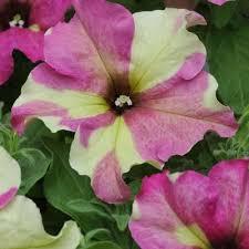 petunia flowers petunia sophistica lime bicolor harris seeds