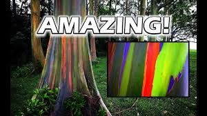 growing rainbow eucalyptus trees is amazing