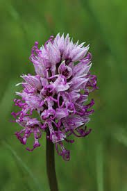 monkey orchid orchis simia monkey orchid