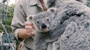 koala pictures gzsihai com