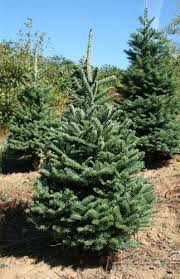 balsam fir christmas tree 4 5 to 5 ft noble fir christmas tree green valley christmas tree