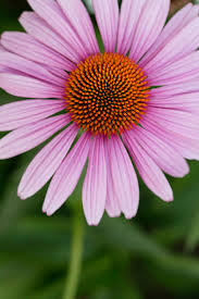 echinacea flower your guide to coneflower sunset magazine