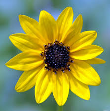 new backyard plant helianthus debilis u2013 benweb 3 2