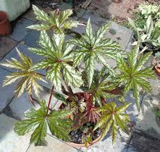 houseplants forum help indoor winter begonia garden org