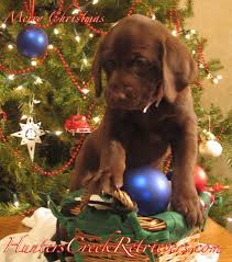 puppy thanksgiving hunters creek retrievers proudly supports the lone survivor