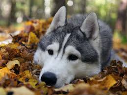 cute fall computer wallpaper husky pup wallpaper best wallpaper