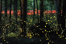 How Do Fireflies Light Up Tennessee Fireflies Light Up The Night Sky In The Smoky Mountains