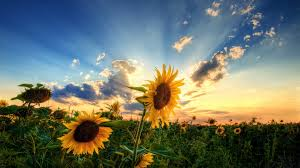 742861 awesome sunflower wallpapers