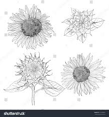 sunflower sketch vector stock vector 213798922 shutterstock