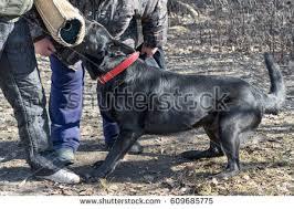 belgian sheepdog lab mix belgian shepherd groenendael stock images royalty free images