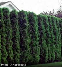 tree care tips for the tree of arborvitae arbor day