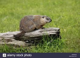 woodchuck woodchucks groundhog groundhogs marmot marmots rodent