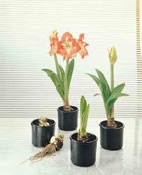why do we plant amaryllis bulbs with their neck exposed