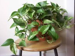 best indoor plants for your home homesteading simple self