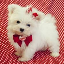 Seeking Teacup Teacup Maltese Puppies For Sale Stuff Teacup