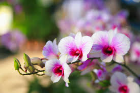 Dendrobium Orchid Pink White Dendrobium Orchid Stock Photo Image 49174295