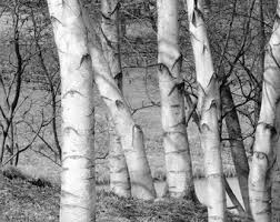 birch tree wrapping paper birch decor etsy