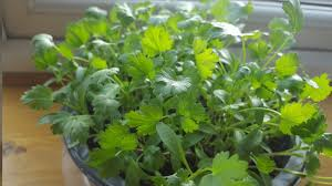 how to grow coriander at home youtube