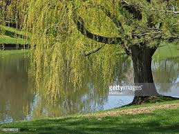 willow tree stock photos and pictures getty images