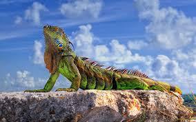 animals wildlife reptile iguana nature wallpapers hd desktop