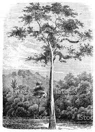 bark cloth tree antiaris false iroko false mvule or upas tree