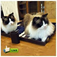 58 best ragdoll cats images on ragdoll cats kittens