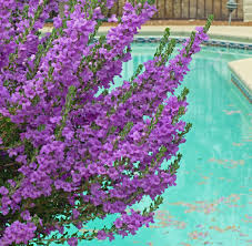native sage plants the texas ranger sage shrub u2013 bushes with purple or white flowers