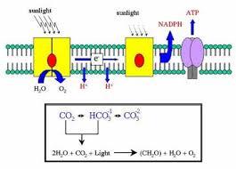 Where Do The Light Independent Reactions Occur Energy Metabolism Biology 102 Course Carolguze Com