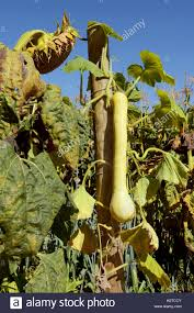 Hanging Vegetable Gardens by Long Tromboncino Squash Grows Hanging On The Vine In A Vegetable