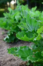 Homemade Pesticide For Vegetable Garden by Organic Rhubarb Leaf Pesticide Spray Reformation Acres