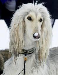 afghan hound grooming styles afghan hound afghan hound art pinterest afghan hound and afghans